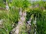 대구수목원에 한국 원산지 강심작용 이뇨작용이 있고  나물로 먹는 연한 보라색꽃 무릇(물굿,물구),꽃,효능.