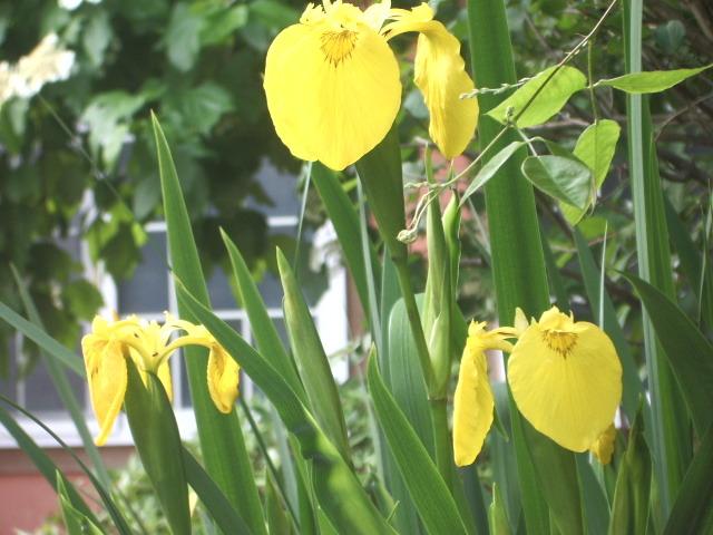 세가지색의 꽃 창포(아이리스)