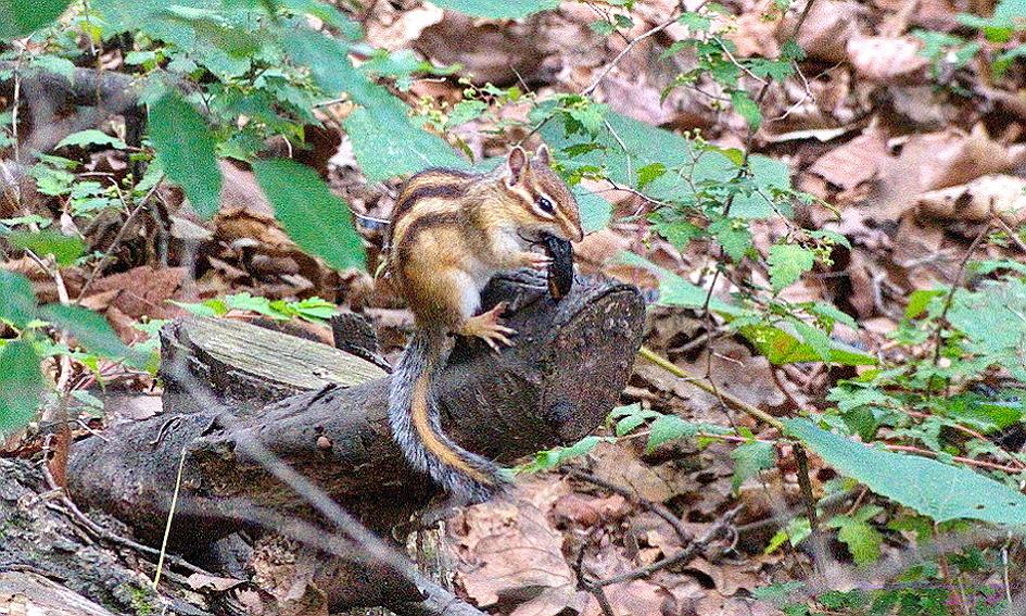 무늬다람쥐의 사냥