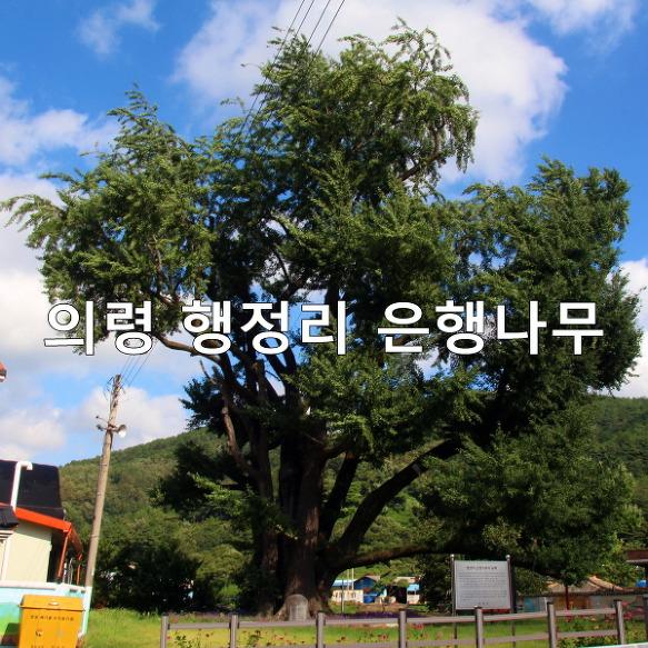 의령 가볼만한 곳-의령 행정리 은행나무